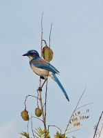 Scrub Jay by Any Other Name by ZoPteryx