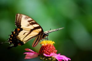 Tiger Swallowtail on Zinnia by SoCallMeNothing