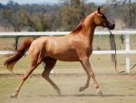 GE Arabian Mare Chestnut Trot Side View by Chunga-Stock