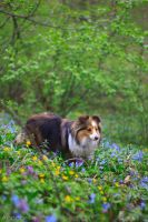 Sheltie in the forest by Aannabelle