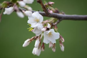 White Cherry Blossoms by taeliac