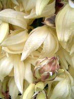 Yucca flowers 2005 by lehsa