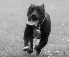 Happy Staffie by DemonDogZuko