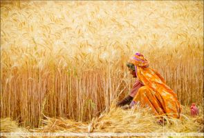 Gold Harvest by EliaKhan