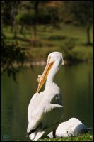 white pelican by latvys