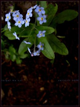 forget me not by Zeitwolf