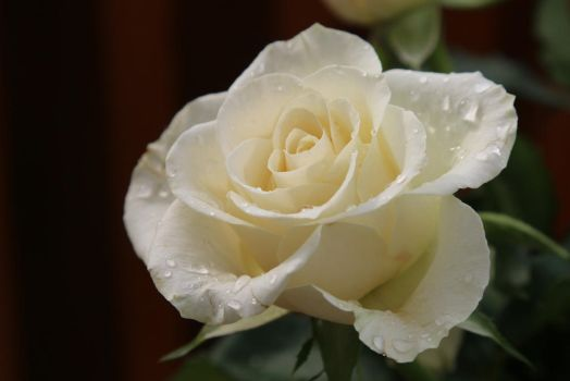 Rose Stock 05 by Malleni-Stock