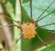 Mite infested Opiliones by duggiehoo