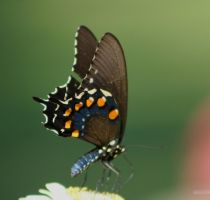 Swallowtail on Flower 1 by panda69680102