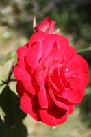 Red Rose by dbvictoria