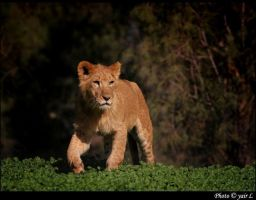 young male lion by Yair-Leibovich
