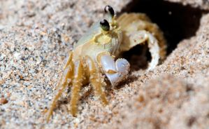Sand Crab by TomFawls