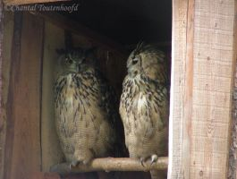 2 Eagle Owls by Amethyst--Dragon