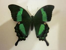 Emerald Swallowtail Spread Dorsal View 001 by death-pengwin