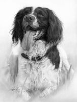 Commission - Springer Spaniel by Captured-In-Pencil