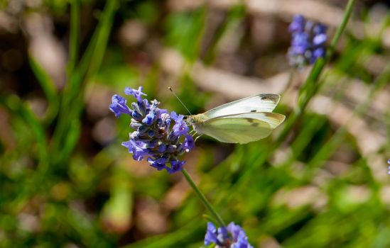 White Cabbage Butterfly by Frostola