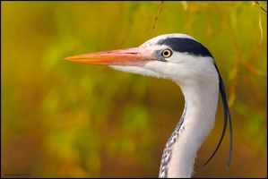 Heron Portriat by andy-j-s