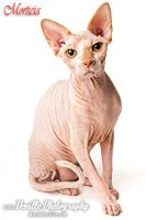 Morticia, the Sphynx by DevillePhotography