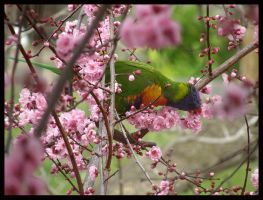 Birds Love Sakura - 3 by Lilithia
