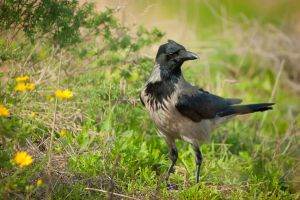 Hooded Crow by rat-or-rat