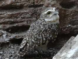 A burrowing Burrowing Owl by Mouselemur