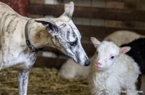 the whippet and the lamb by embliss