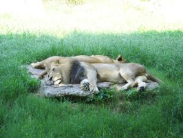 lion nap 2 by mandykat