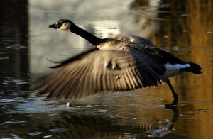 Goose...ready for takeoff by webcruiser