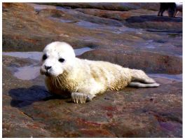 Baby Seal by SLJones-photo