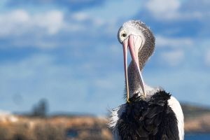 Perching Pelican Preening by Aztil