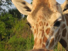 Stock: Giraffe 21 by equizotical