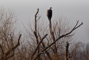 Bald Eagle Perched in the Fog by bovey-photo