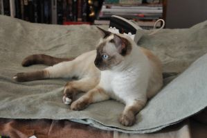 Robriel-Stock - Siamese Cat 4 by Robriel-Stock