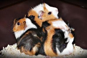 Baby Guinea Pigs by vithium