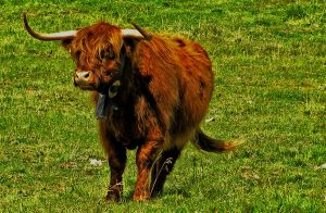Highlander cow by edelweiss26