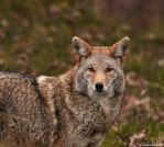 coyote by purple007