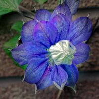 CLEMATIS by martiuk