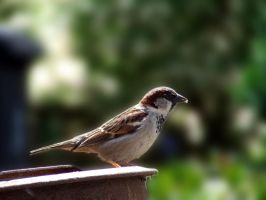 Sparrow by thierry-eamon