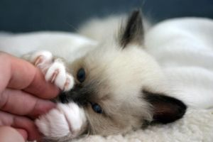 Birman kitten playing by amigaboi