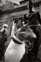 Bull Terrier by 3OS