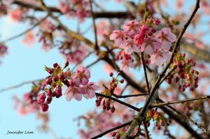 Cherry Blossom by michennifer