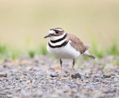 Killdeer ll by deseonocturno