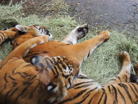 Tiger Brothers 1 by Dreamwind