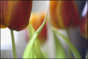 tulips by herbstkind