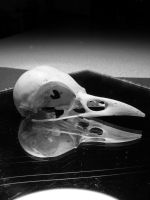 Bird Skull VI by PocketDreams