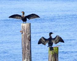 Double Crested Cormorants front and back by swashbuckler