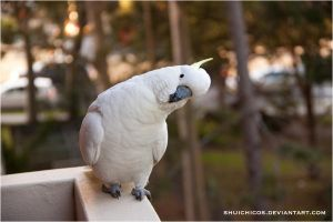 Sulphur-crested Cockatoo 2 by shuichimeryl