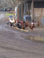 Chickens Roosters and Ducks OH MY by KMKramer44