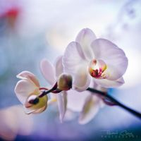 .:Orchid III:. by RHCheng