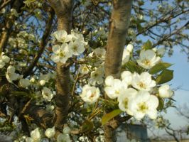 Pear Blossoms2 by lampshaded-stock